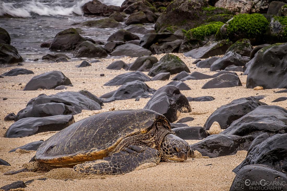 Green Sea Turtle 02