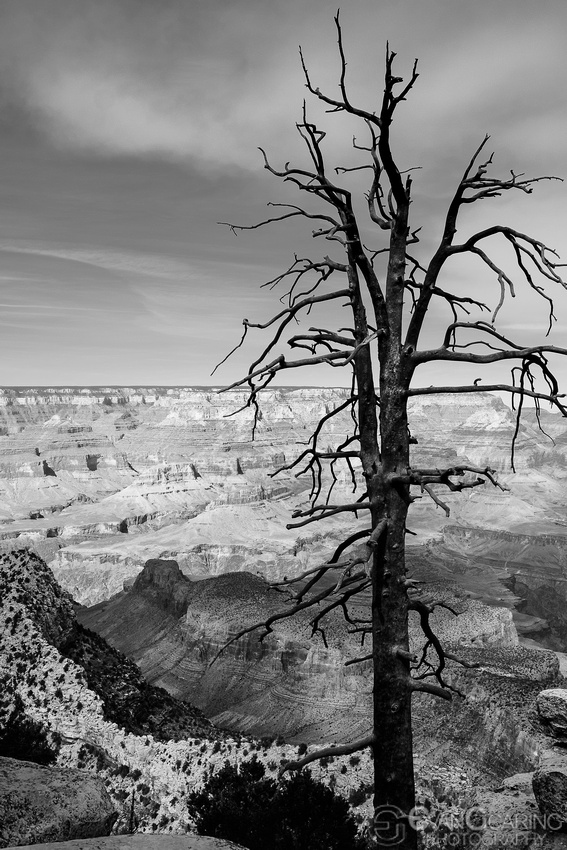 Deadwood in the Grand Canyon